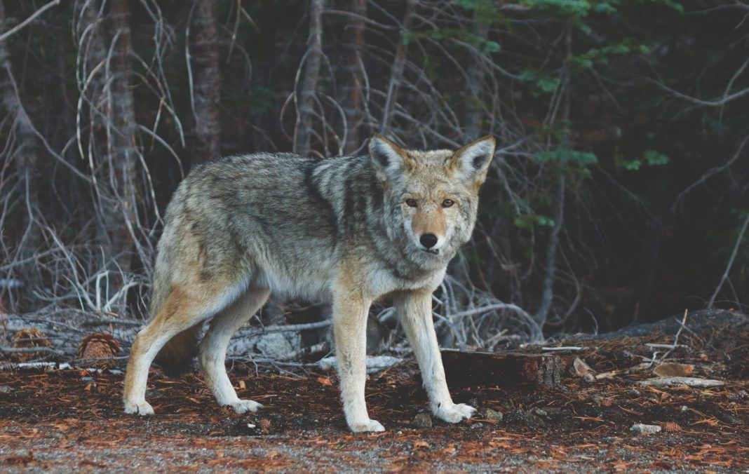 Wolf by Josh Felise